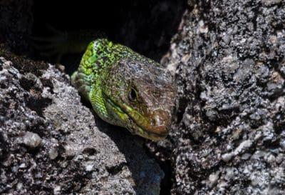 reptile, lézard, nature, camouflage, la faune, zoologyanimal, amphibiens