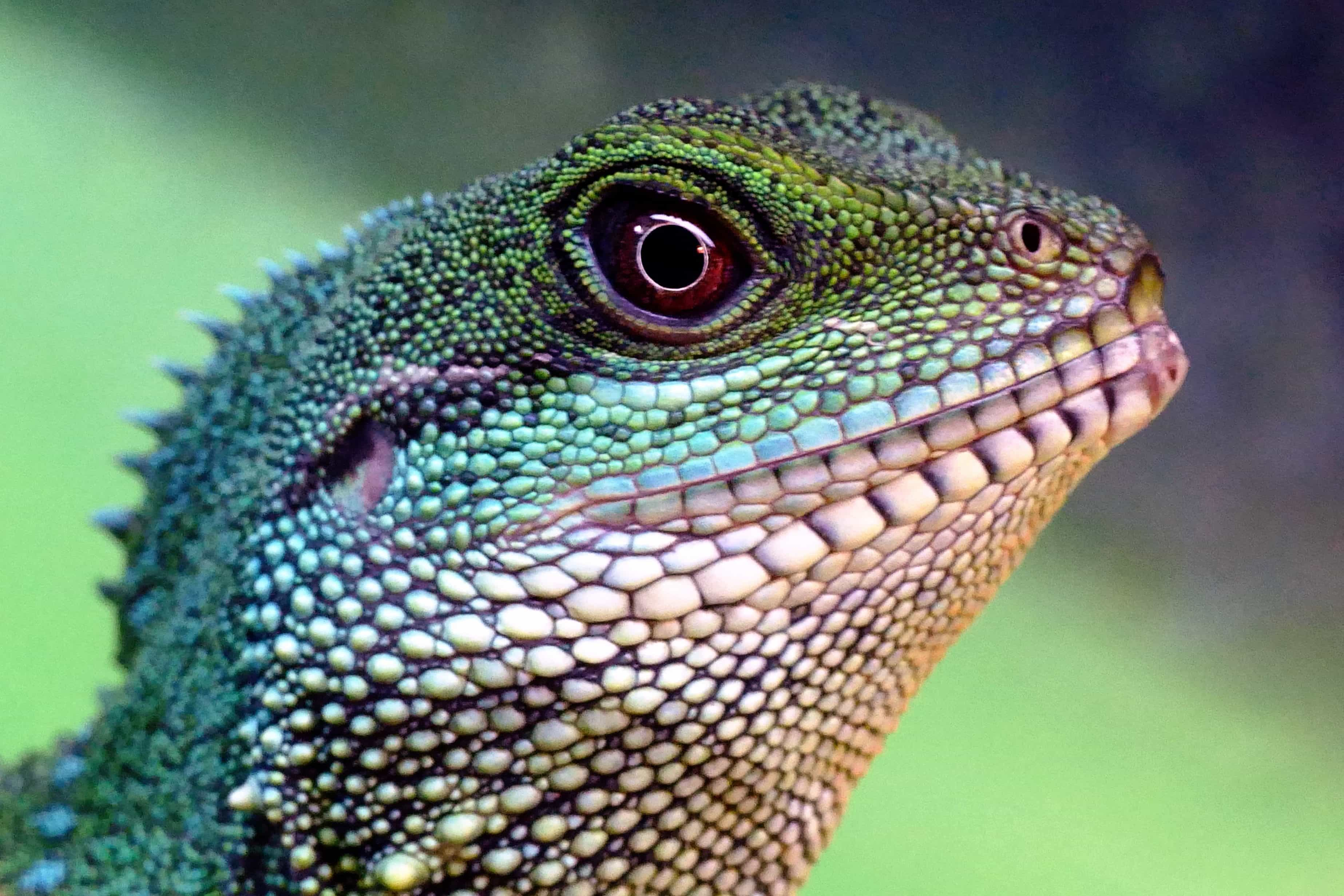 Free picture: lizard, reptile, wildlife, nature
