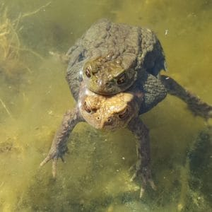 frog, reptile, amphibian, water, nature, wildlife, aquatic
