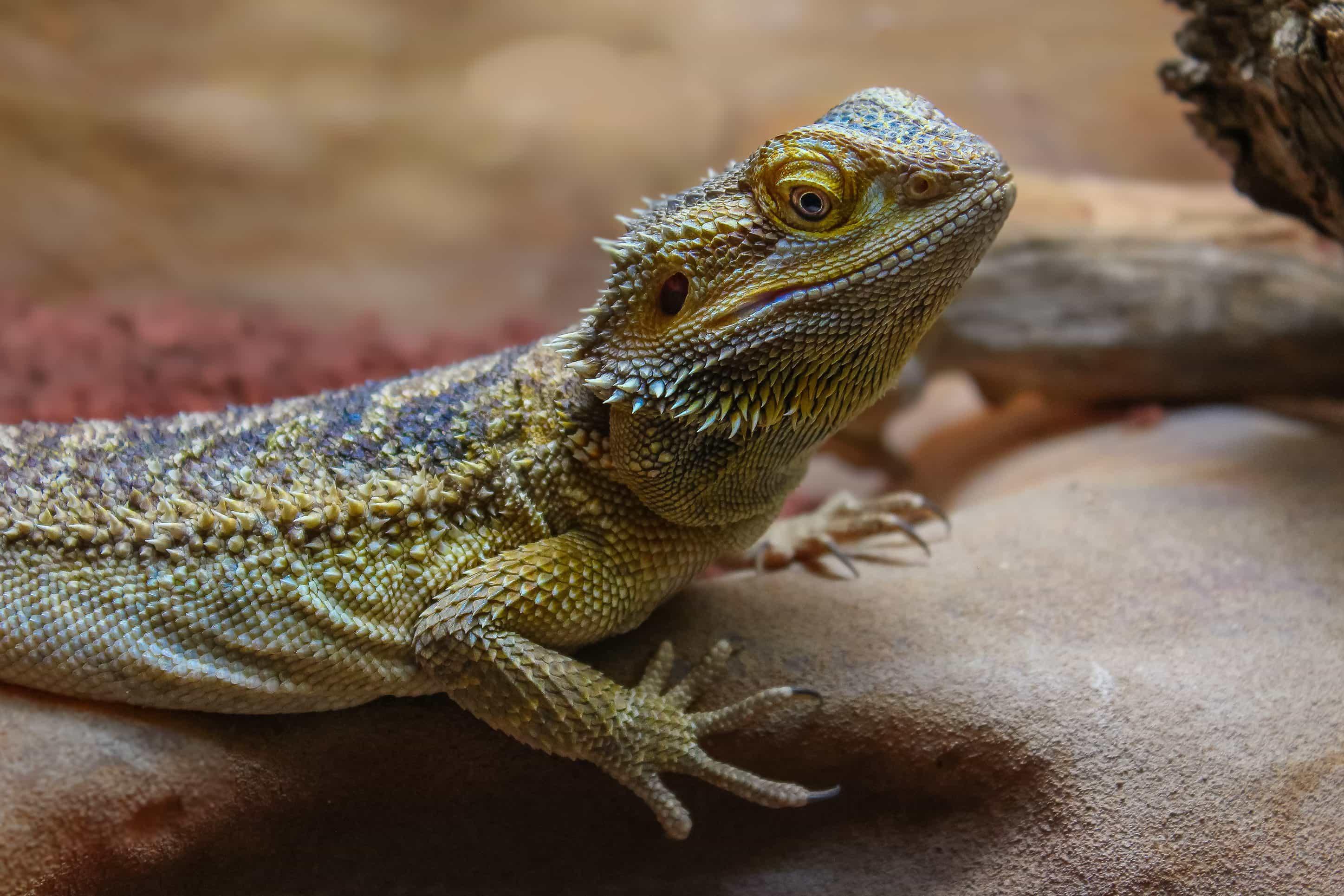 Free picture: lizard, reptile, nature, wildlife ...