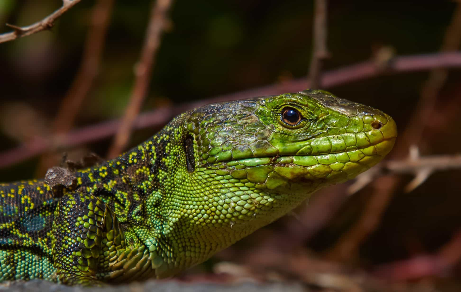 reptile pet lizard camouflage animal wild nature wildlife eye reptiles lizards geckos animals dragon 1233 1945 kb
