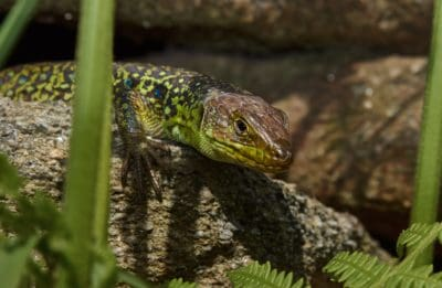 nature, wildlife, reptile, lizard, dragon, eye, camouflage, wildlife, zoology