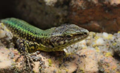 reptile, lizard, wildlife, nature, animal, camouflage, wildlife, zoology