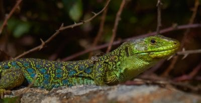 lizard, reptile, wildlife, nature, animal, camouflage, zoology