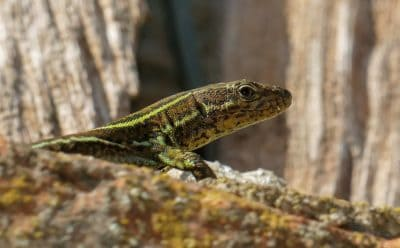 nature, lizard, reptile, wildlife, camouflage, wildlife, zoology, animal