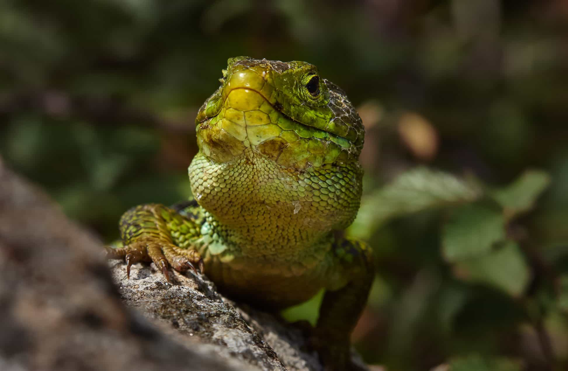 Super Image libre: reptile, lézard, faune, nature, animal, sauvage  JP82