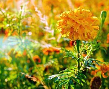 natur, blad, flora, blomst, plante, blomst, marigold, sommer, hage, gress, felt