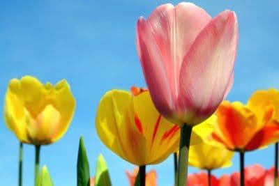 natur, tulpan, blomma, växt, blomma, flora, leaf, trädgård, solen, kronblad