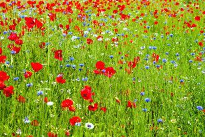 field, grass, flower, poppy, summer, rural, nature, flora, lawn, garden, wildflower, petal