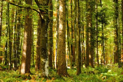 wood, tree, foliage, nature, leaf, landscape, birch, forest