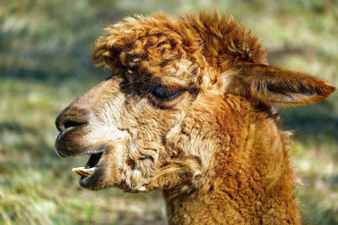 alpaca, animal, fur, wildlife, nature, wild, muzzle