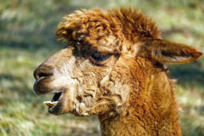 alpaca, animal, fur, wildlife, nature, wild, muzzle