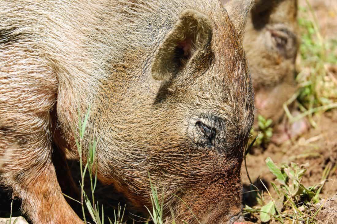 animal, nature, faune, sauvage, fourrure, cochon, porc, tête, herbe, brun