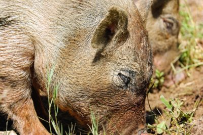animal, wildlife, nature, wild, fur, swine, hog, head, grass, brown