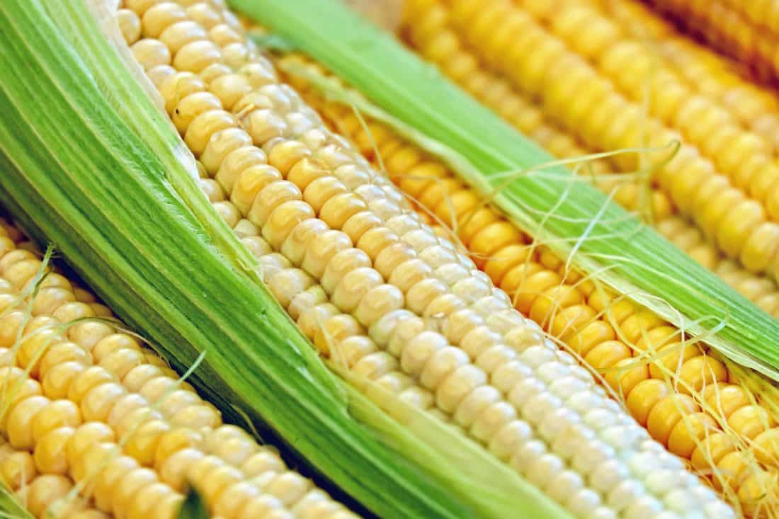 corn, cereal, macro, agriculture, vegetable, organic