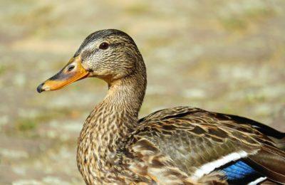 Duck, fugl, dyreliv, natur, fjerkræ, vandfugle, næb, fjer, hoved