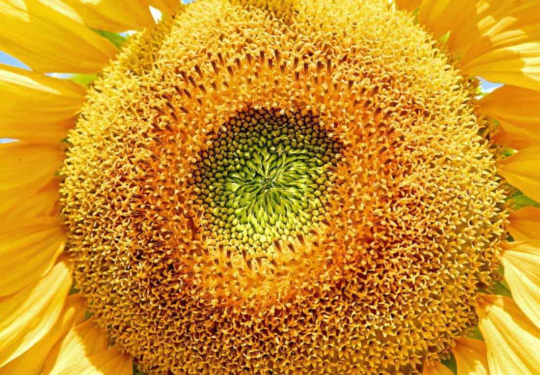 sunflower, nature, flora, summer, macro, flower, flower, pollen, petal