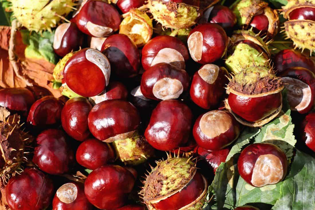 Каштан, осень, дикий, семян, листьев, макро