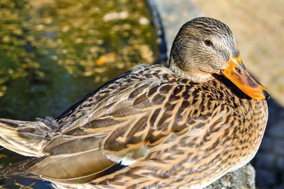aves, pato, naturaleza, vida silvestre, aves de corral, pico, pluma