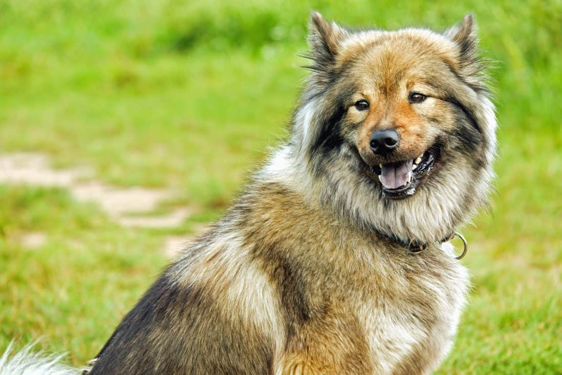 perro, perro pastor, canino, animal, pelo de mascota, hierba verde, al aire libre