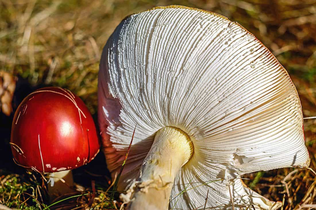 mushroom, nature, food, vegetable, grass, herb, macro