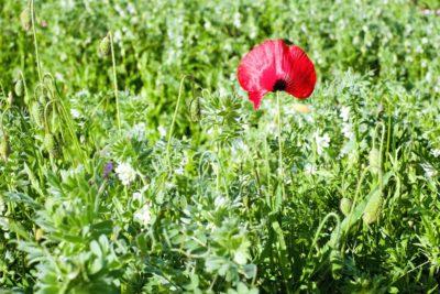 thực vật, thiên nhiên, Hoa, lĩnh vực, lá, mùa hè, Sân vườn, thuốc phiện