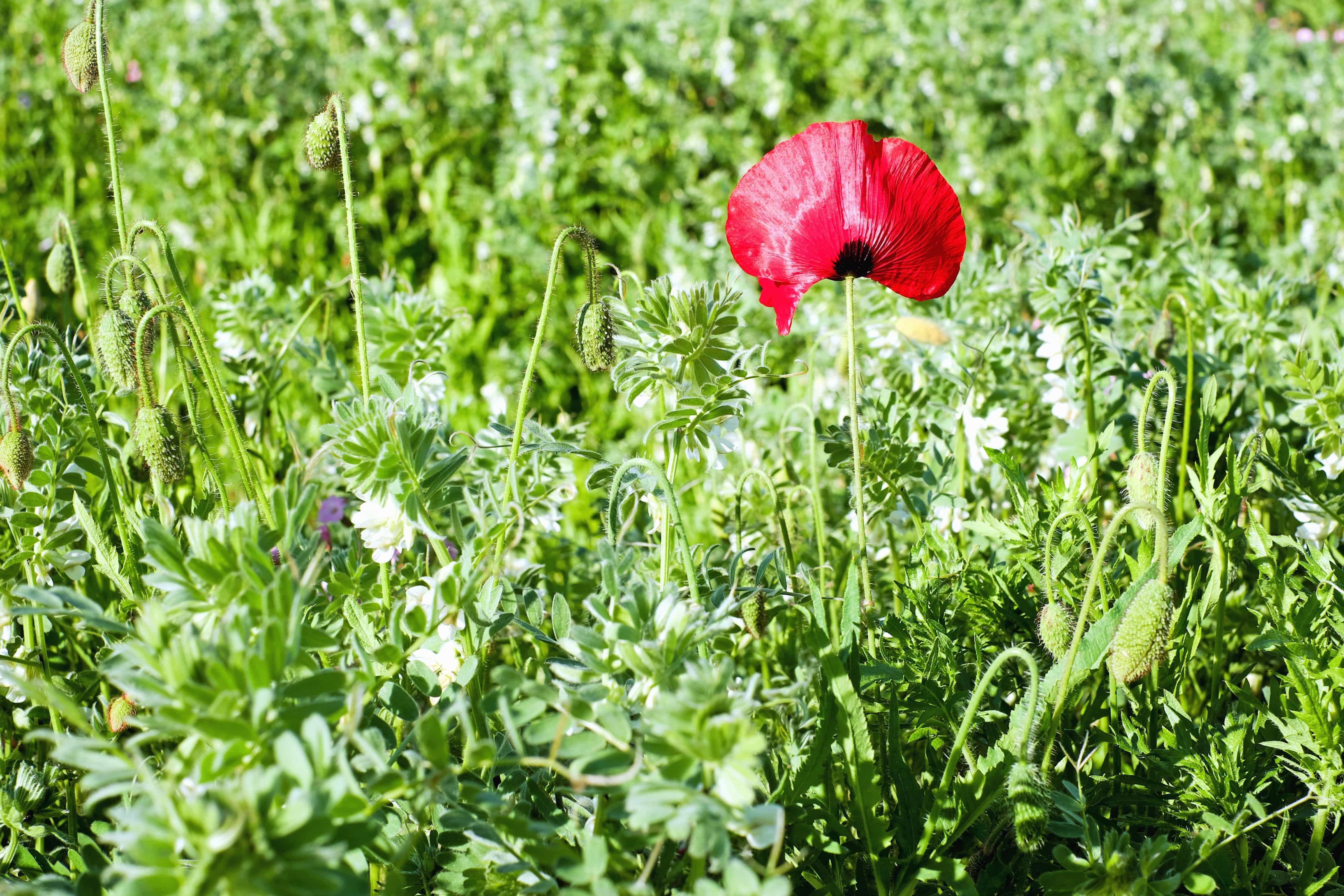 Imagen gratis flora naturaleza flor campo hoja for Amapola jardin de infantes palermo