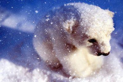 neige, hiver, froid, gel, flocon de neige, ours blanc, animal, fourrure