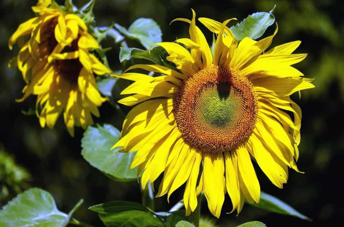 natur, flora, blomst, blad, sommer, detaljer, hage, kronblad