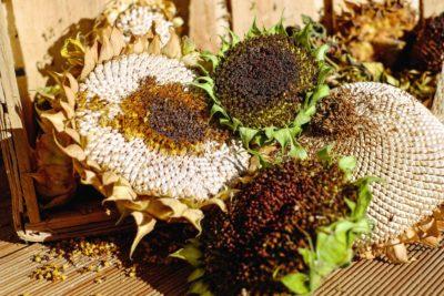 sunflower, plant, agroculture, food, flower, grain