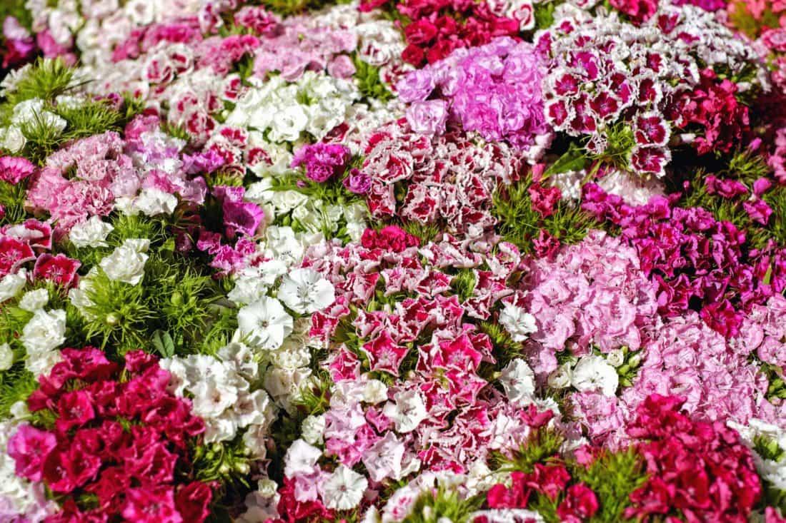 oeillet, fleur, flore, jardin, nature, pétale, feuille, herbe, coloré