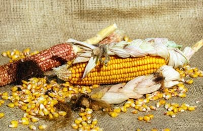 still life, food, corn, cereal, grain, kernel, seed