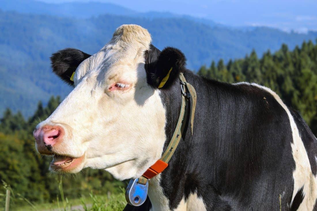 farm, livestock, cow, grass, agriculture, grassland, rural