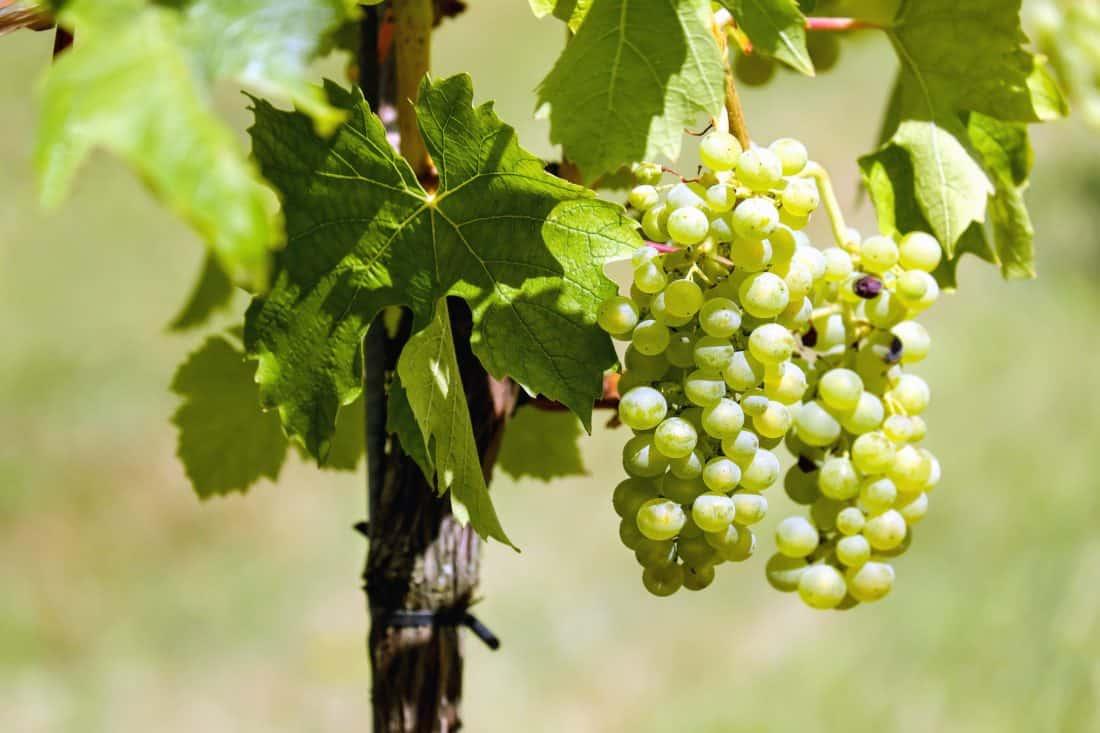 leaf, nature, flora, agriculture, fruit, grapevine, food, vineyard