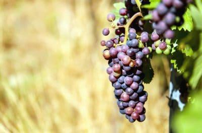 příroda, ovoce, organické, hrozny, vinice, zemědělství, potraviny