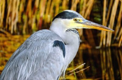 animal, swamp, nature, feather, wildlife, beak, heron, bird