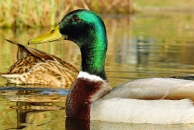 feather, wildlife, bird, lake, nature, ornitology, poultry, duck, waterfowl