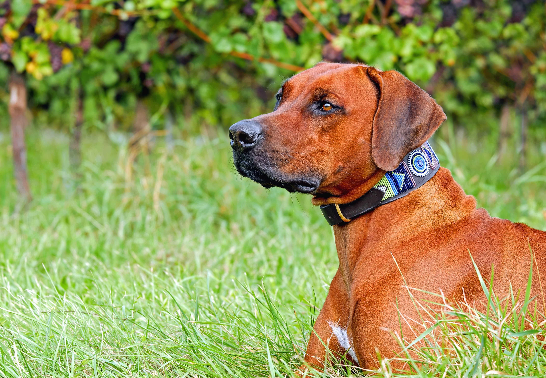 kostenlose bild niedlich canine rasen hund portrait tier haustier welpen im freien. Black Bedroom Furniture Sets. Home Design Ideas
