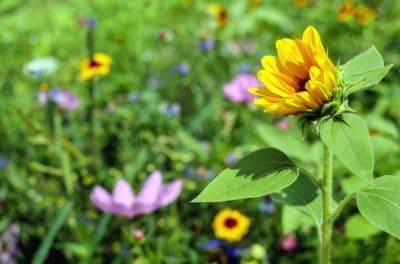 blomst, flora, blad, hage, natur, sommer, solsikke, plante