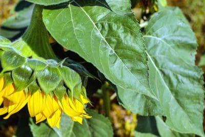 Leaf, natur, blomst, kronblad, solsikke, flora, plante