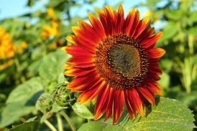sommar, trädgård, natur, flora, blad, blomma, solros, fält