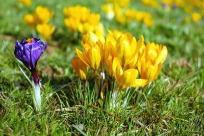 Crocus, kert, fű, levél, flora, nyár, természet, virág
