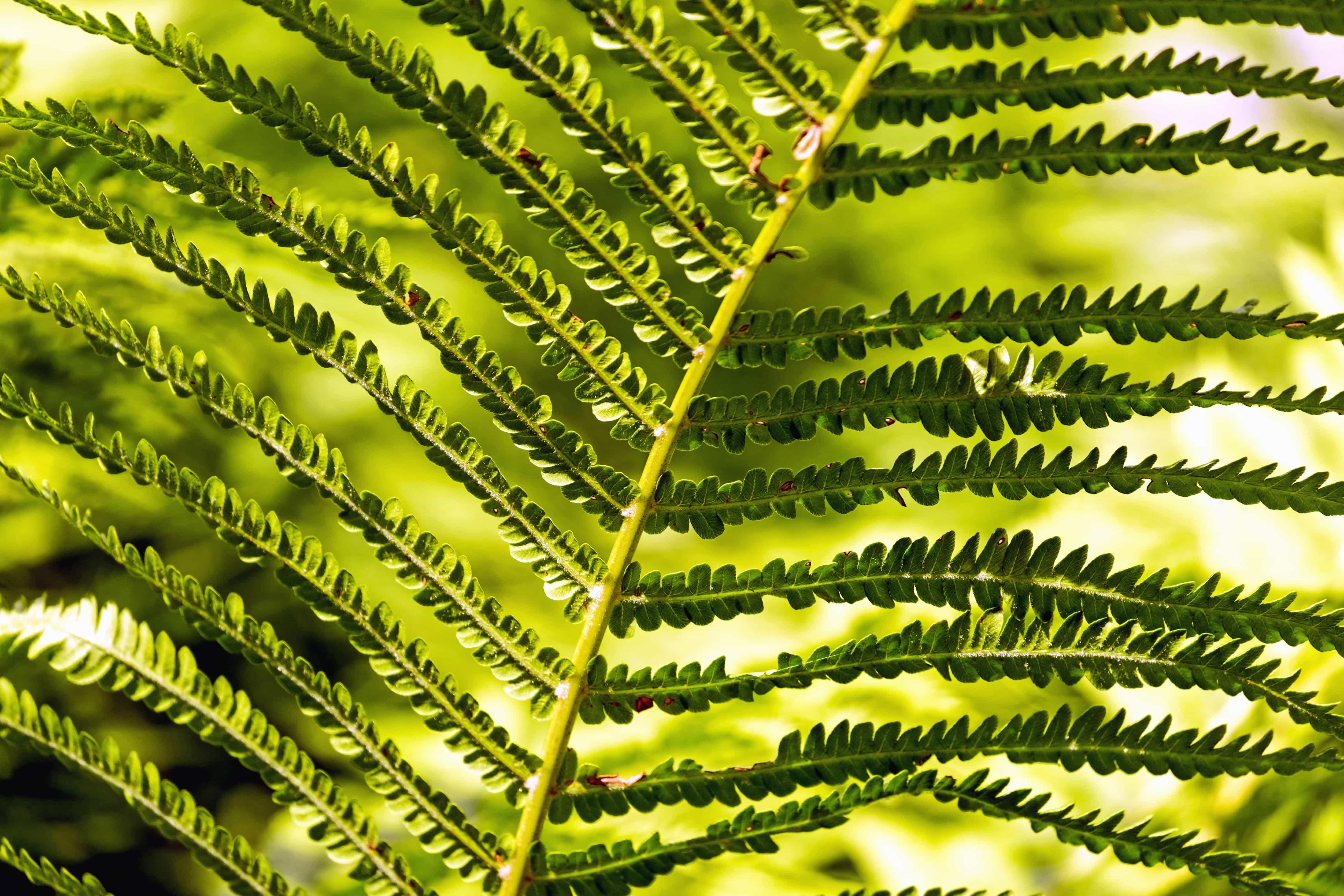Kostenlose Bild Farn Schatten Grün Zweig Blatt Pflanze Garten