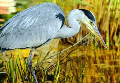 wildlife, feather, swamp, heron, animal, beak, nature, bird