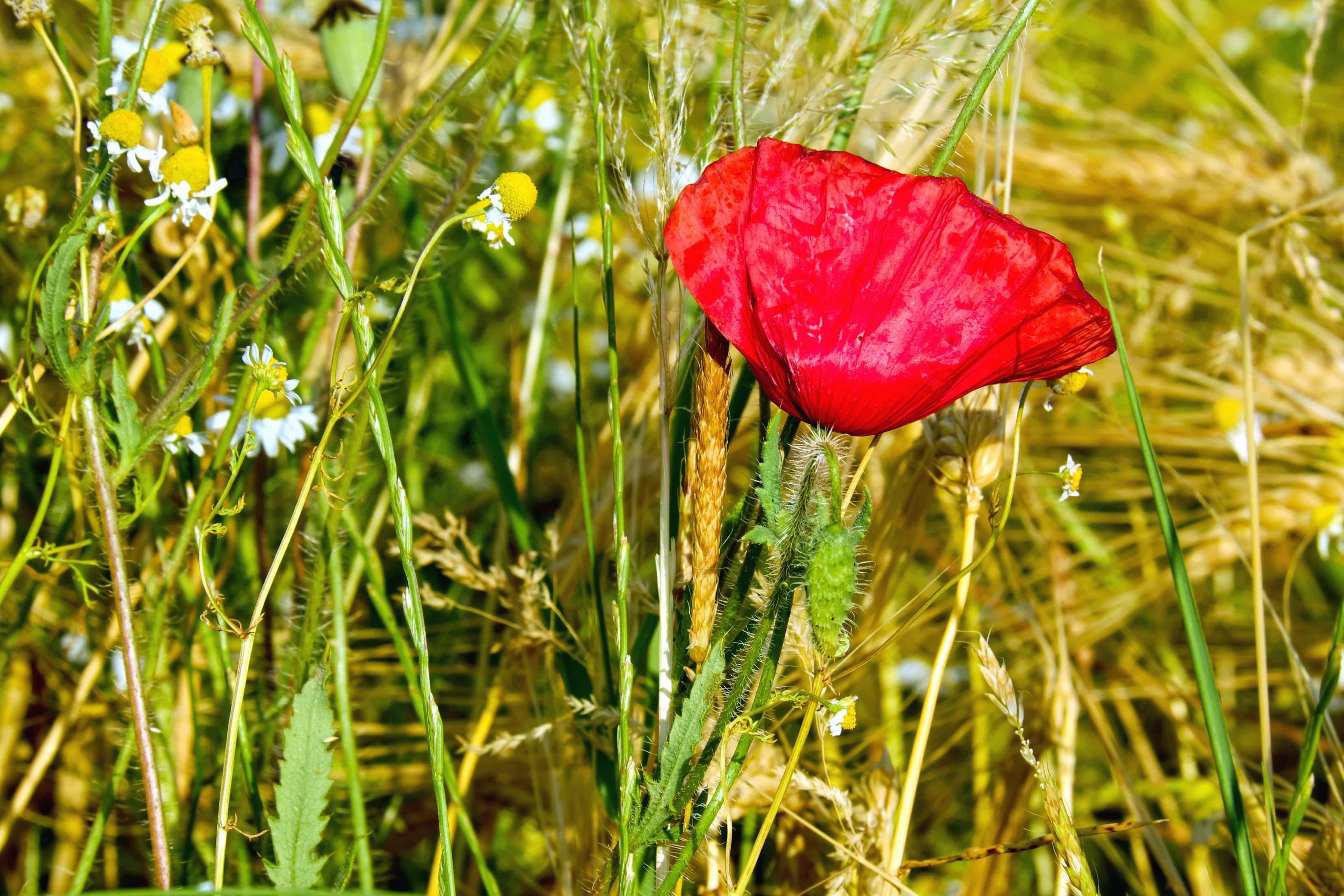 Free Picture Grass Flower Field Flora Summer Opium Poppy