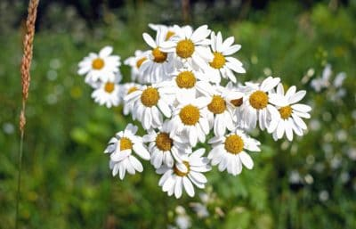 chamomile, nature, flower, flora, summer, herb, plant, blossom