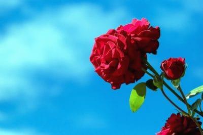 Flora, příroda, růže, list, léto, květ, okvětní, rostlina, růžová