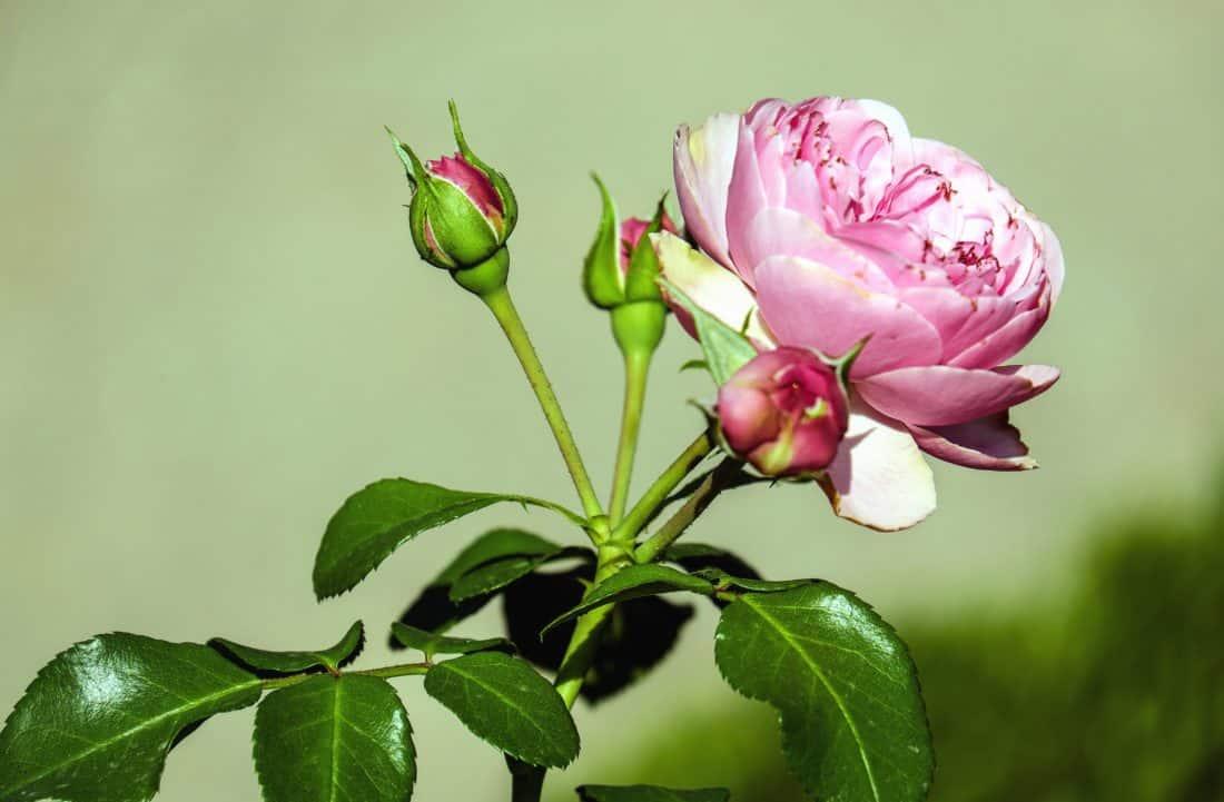 blomst, flora, blad, natur, blomst, rosa, kronblad, hage
