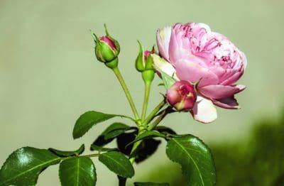 fiore, flora, foglia, natura, fiore, rosa, petalo, giardino