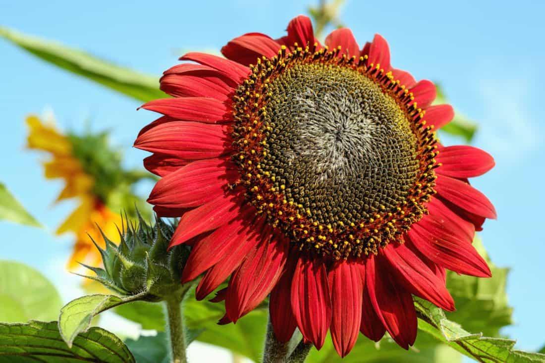 natur, blad, flora, hage, blomster, sommer, solsikke, felt